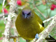 Look me in the eye... Bellbird Southland NZ - AndreaEL Photography