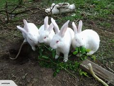 Rabbits for sale in New Zealand. Buy and sell Rabbits on Trade Me. Funny Bunnies, Cute Bunny, Wild Animals, Farm Animals, Rabbits For Sale, New Zealand Rabbits, Rabbit Breeds, Raising Rabbits, White Rabbits
