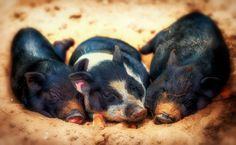 pig backgrounds for widescreen - pig category