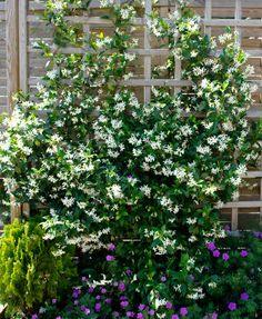 Star Jasmine. shade loving, fragrant climber.