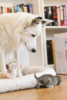 "Little White Kitten says to his adoptive Mom ~ ""Wini"" The Dog ~ ""Mom, what is it that 'Smokey' is actually looking for under our bed?"""