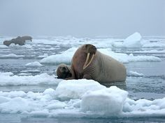 Opponents seek halt to Shell's Chukchi drilling plans over walrus risks