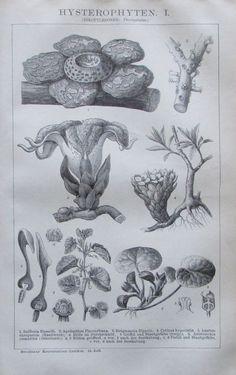 1894 HYSTEROPHYTEN I-II Original 2 alte Drucke Old Prints Pflanzen Lithographie | eBay