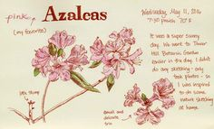 Carolyn Pappas captured the azaleas in watercolor on her trip to Tower Hill in May.
