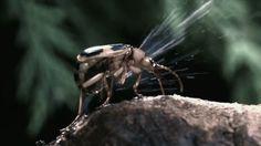 Besouro-bombardeiro, o único animal capaz de produzir uma bomba