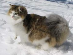 cats in the snow pictures - Google Search