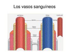 Las paredes de los vasos sanguineos poseen tres capas:  - Túnica íntima (Endotelio y Tej. Conjuntivo Subendotelial)  - Túnica media ( Musculo Liso)  - Túnica Adventicia ( Tej. Conjuntivo Fibroelastico)