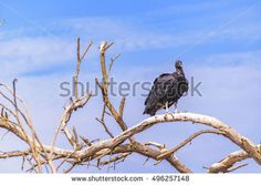 Low angle shot of black vulture at the top of leaveless tree against blue sky background