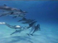 Precious video ~ looks like the dolphins are dancing w/ the human swimmers. Love!