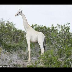 White giraffe