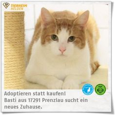 Basti wartet in Prenzlau im Erika Kliemann Tierheim auf ein neues Zuhause http://www.tierheimhelden.de/katze/tierheim-prenzlau/deutsche_hauskatze/basti/8663-1/   Basti ist aktuell noch recht schreckhaft und zurückhaltend. Zugleich ist er aber auch sehr liebesbedürftig. Es wird eine Familie gesucht, die sich sowohl auf das eine als auch das andere einstellen kann.