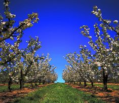 Avalon Revisited: Avalon and the Apple Trees Get Outdoors, Apple Tree, Vineyard, Golf Courses, Landscape, Nature, Trees, Park, Plant