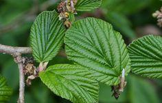 Hamamelis: Una Planta Con Múltiples Beneficios Para la Salud y La Belleza | Origenes SkinCare Plant Leaves, Plants, Flowering Plants, Shrubs, Health, Beauty, Plant, Planets