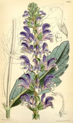 Salvia barrelieri - circa 1872