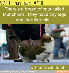 Munchkin cats. Interesting. (http://puzzlecubesworld.com/about-us/)