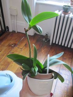 Keiki: A baby orchid!