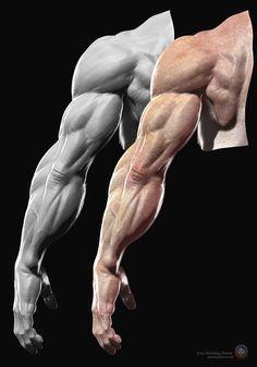 Human anatomy - Arms.