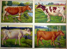 the old school's educational board - Opetustaulu, lehmärotuja - Finnish cows Vintage Farm, Retro Vintage, Country Life, Cattle, Farm Animals, Finland, Childhood Memories, Illustrators, Folk Art