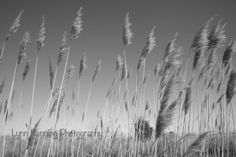 Willows in the Wind by Lynn Benning on Capture Outdoors Maryland // Kent Island