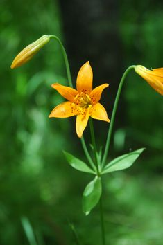 Lilium parvum is a species of lily known by the common names Sierra Tiger Lily and Alpine Lily. It is native to the Sierra Nevada of California and Nevada. The plant grows in mountainous forests, sending up stems with inflorescences of lily flowers during the summer months.