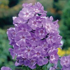 Phlox paniculata 'Laura' (Large Plant) - Perennial & Biennial Plants - Thompson & Morgan