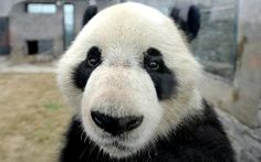 'Hullo!': Xing Hui the giant panda watches visitors at a breeding centre in southwest China's Sichuan Province. (Photo: Caters)