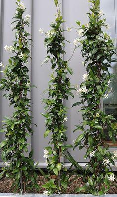 Garden Wall Designs, Cottage Garden Design, Backyard Garden Design, Backyard Landscaping, Backyard Privacy, Plante Jasmin, Trachelospermum Jasminoides, Vertikal Garden, Australian Native Garden