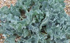 Crambe maritima (sea kale) gives an authentic seaside garden look Tropical Garden, Plants, Cool Plants, Coastal Landscaping, Seaside Garden, Modern Garden, Coastal Gardens, Sea Plants, Beach Gardens