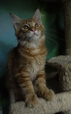 Red cl. tabby Kater , 4 Mon. mit Stammbaum (Gummersbach) - Rot (Maine Coon)…