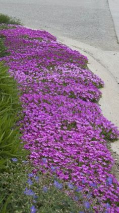 Ground cover- HOT and DRY. Drought tolerant Ice Plant (Delosperma) is right at home along this cement curbside. Few sun perennials can take such less-than-forgiving locations yet still provide months of bloom all summer long. Garden Shrubs, Lawn And Garden, Garden Plants, Sun Plants, Driveway Landscaping, Landscaping Design, Drought Tolerant Landscape, Drought Resistant Landscaping, Drought Resistant Plants