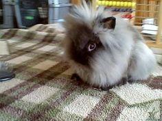 47 Best lionhead bunnies images in 2016 | Lionhead rabbit