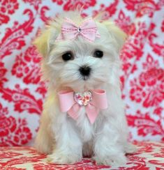 a teacup maltese puppy! Teacup Maltese, Teacup Puppies, Maltese Dogs, Cute Puppies, Cute Dogs, Dogs And Puppies, Baby Maltese, Animals And Pets, Baby Animals