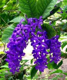 Flowering Vine Plants, Planting Flowers, Purple Flowers, Beautiful Flowers, Purple Garden, Good Morning Flowers, Unique Plants, Spring Blooms, Simply Beautiful