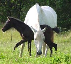 Andalusian filly, pictured at 10 days