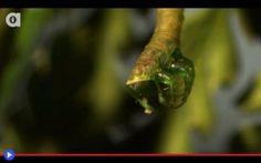 """Il bruco carnivoro, pericoloso predatore delle Hawaii Per un paragrafo, sarò la vespa parassita. Bzz, piacere mio: """"Chrysidoidea, per gli amici, Apocrita"""" un lavorìo pressante, un compito davvero faticoso. In volo. È una vita difficile, quella di colei  #insetti #bruchi #falene #predatori"""