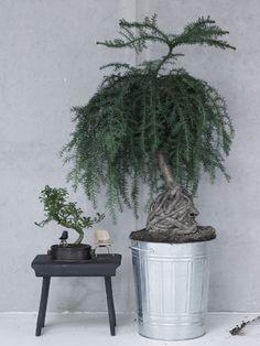 großer bonsai baum im garten | zimmerpflanzen | pinterest, Best garten ideen