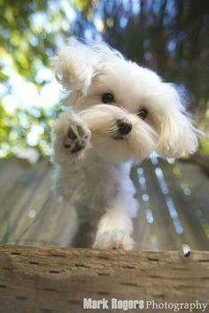Cute Pup Maltese Maltese Dogs Puppies Cute Puppies
