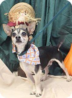 Missouri City, TX - Chihuahua Mix. Meet Wyatt, a dog for adoption. http://www.adoptapet.com/pet/11781002-missouri-city-texas-chihuahua-mix