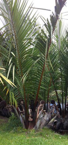 Nypa fruticans Arecaceae