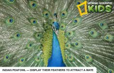 National Geographic Kids activity and info on the India Peafowl.
