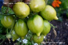 Yellow Plum Heirloom Tomato - The Nitty Gritty Potager