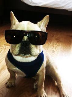 French Bulldog in Cool Shades