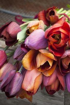 Tulip Mix (from Sarah Raven): Tulip 'Belle Epoque' Tulip 'Bruine Wimpel' Tulip 'Cairo' Tulip 'Ronaldo'