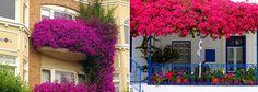 Primavera ou Buganvillea