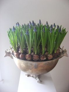 I have been looking for a justification to pick up an antique silver punchbowl and now I have one -- to force muscari in the winter. Perfectly reasonable, yes?