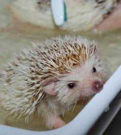 hedgehogs as pets - I WANT ONE SOOO BAD <3