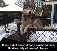 Funny pictures about Law defying husky. Oh, and cool pics about Law defying husky. Also, Law defying husky. Cute Funny Animals, Funny Animal Pictures, Funny Cute, Cute Puppies, Cute Dogs, My Husky, Funny Husky, Husky Mix, Husky Humor