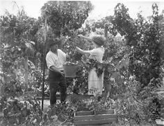 grape pickers at work NSW 1930s