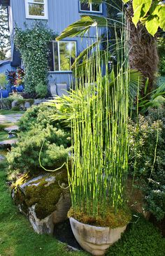 Horsetail Grass Beautiful In Planters My Green Thumb