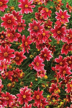 Garden author Doug Green tells you how to grow Coreopsis, what plants to look for and shows recent introductions